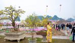 Japanese Cherry and Yen Tu Yellow Ochna blossoms to shine in Ha Long